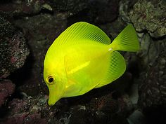 Yellow Tang fish by angeloblue