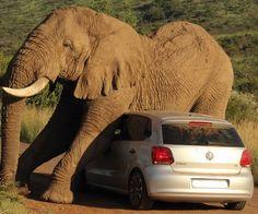 Elefante usa carro para se coçar em parque na África - Fernando Moreira: O Globo