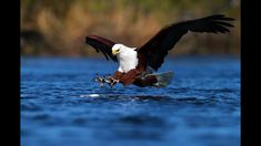 Motivational Quote: God gives every bird its food but He doesn't throw it in to its nest Eagle Hunting, Animal Attack, Okavango Delta, People Of Interest, Eagles, Bald Eagle, Animals And Pets, Africa, Birds