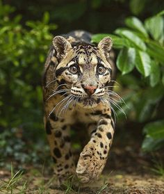 Clouded Leopard | Photo by Colin Langford