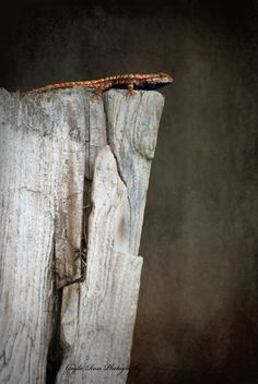 Fence Lizard Photography,Lizard Photo,Reptile Photo,Rustic Photo,Wildlife Photo,Nature Photo,Gray Wall Art,Animal Photo, by ScatteredBeams on Etsy