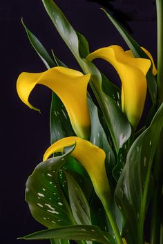 by Naveen Mathew on Beautiful Flower Quotes, Beautiful Flowers Photos, Beautiful Flower Arrangements, Love Flowers, Beautiful Roses, Yellow Flowers, Calla Lily Flowers, Calla Lillies, Flowers Nature