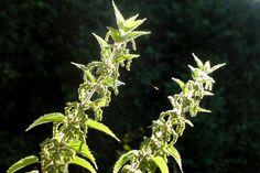 Urtica dioica flowers