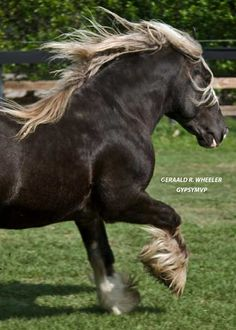 Gypsy Vanner Horse for Sale | Stallion | Charisma