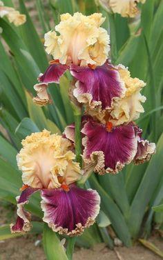 Haut Les Voiles Iris | Bicolore :: Les Iris du Grand Barbu