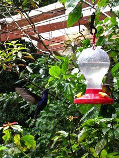 costa rica monteverde humming bird