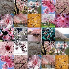Cherry Blossom- My favorite tree <3
