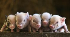 So cute! This little piggy went we we weeeeeee......