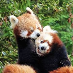 Image result for banham zoo red pandas