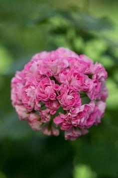 https://flic.kr/p/M2ko8p | pelargonium 'Swanland Pink' | ('Australian Pink…