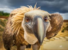 Ambassador, Julia Wimmerlin, challenged the community to capture photos of animals expressing human emotions or showing human-like behavior. Check out the entire shortlist! Denis Robert, Capture Photo, Human Emotions, Vulture, Natural Life, Great Shots, Great Pictures, Big Eyes, Bald Eagle