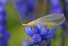 Lacewing by nutmeg66, via Flickr  Lacewings are such delicately beautiful insects - but when larvae they are voracious consumers of aphids and insect eggs. Definitely to be encouraged in the garden!