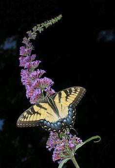 ~~Yellow Swallowtail by Steve Zimic~~