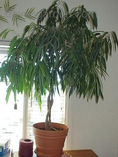 Ficus Alli : Indoor plant that cleans the air you breath in your home