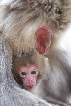 Snow Monkeys of Japan ... So adorable! What is heaven if not this?