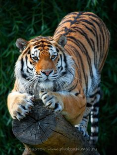 Tiger Vogue by Anton Jaguars
