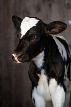 Daily Dose – August 2017 – Dairy Doll – Holstein Calf O'Br… Tägliche Dosis – August 2017 – Milchpuppe – Holsteinisches Kalb 2017 © Barbara O & Brien Photography Cute Baby Cow, Baby Cows, Cute Cows, Cute Baby Animals, Farm Animals, Cow Pictures, Animal Pictures, Cow Pics, Regard Animal