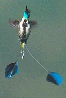 Colibri cola de espátula