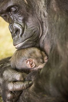 New Gorilla Baby is 'Molto Bella' New Gorilla Baby is 'Molto Bella' Lincoln Park Zoo is pleased to announce the birth of a healthy female Western Lowland Gorilla, born on February The baby, named 'Bella', is staying tucked close to her mother 'Ba Primates, Mammals, Gorilla Gorilla, Baby Zoo, Mom Baby, Nature Animals, Animals And Pets, Strange Animals, Wild Animals