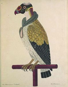 """King Vulture Painting """"the painted vulture"""""""