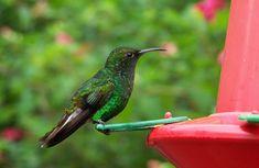Costa Rica Colibri Hummingbird