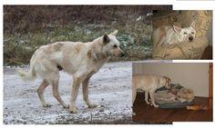 każdy kto ma psa z interwencji, wie, że w takim psie zachodzi gigantyczna ewolucja postaw - najpierw jest bierny, trochę wyautowany i czujny, potem wyczekuje, co będzie dalej, potem - kiedy nabierze ufności - poddaje się temu, co go otacza a na koniec wycisza się i zaczyna odpoczywać | poniżej psiamaciowe pasztety ewolucja - z pokrowca po psie w psa...