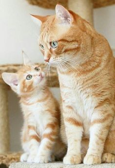 KING COLLIN'S CAT PALACE: has members. This group is for anything about cats. Big little small we love them all. All cat lovers are welcome. Cute Baby Animals, Animals And Pets, Funny Animals, Pretty Cats, Beautiful Cats, Animals Beautiful, Cute Cats And Kittens, Kittens Cutest, I Love Cats