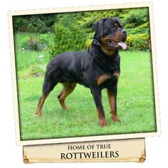 Rottweiler Breeders, German Rottweiler, Doberman Pinscher, Labs, Friends, Animals, Amigos, Animales, Animaux