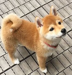 chiot shiba inuYou can find Shiba inu and more on our website. Cute Dogs And Puppies, Baby Dogs, I Love Dogs, Doggies, Chien Shiba Inu, Shiba Puppy, Shiba Inu Puppies, Akita Inu Puppy, Lab Puppies