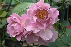 ~Rose Lavender Pinocchio