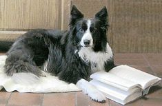 BC reading a book - I know they're top of the smart dog list, but my dog reads just as well!