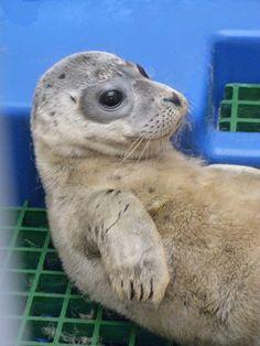 Manche der kranken Robben, die ins Marine Mammal Center in Kalifornien kommen, sind noch jung. Häufig haben die Tiere Erkrankungen wie Wurminfektionen und Lungenentzündungen. Manchmal haben sie aber auch Infektionen und Blutungen in den Ohren - vermutlich wegen zu hoher Lärmbelastung der Meere durch Menschen.