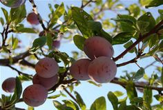 Best plums or large italian prune plums recipe on pinterest - Spring trimming orchard trees healthy ...