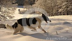 Borzoi puppy on the snow meadow