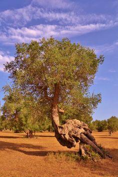 Olivo nelle campagne del Salento: natura, suggestione e fascino rurale