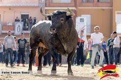 torodigital: La Vall d'Uixó arranca la temporada de cerriles s...
