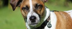 Jack Russell - Beethoven @ The Dog House, Watford. Dog Walking Service