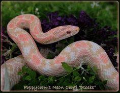 Strawberry snow corn snake