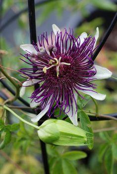 Passiflora 'Indigo_Dreams'
