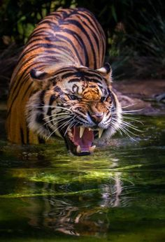 """There is no off switch on a #tiger."" - German proverb #quote 