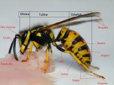 budowa owada Natural History, Biology, Kids Learning, Insects, Bee, Education, Drawings, Animals, Zoology