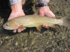 1000 images about yellowstone cutthroat on pinterest for Cody wyoming fly fishing