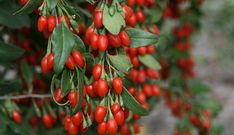 How to grow a goji berry tree in your garden. I explain how long it takes to grow goji berries from seed and young plants. What are the health benefits of goji berries. Growing Goji Berries, Berry Plants, Fruit Plants, Fast Growing Trees, Plant Cuttings, Red Fruit, Fruit Sushi, Edible Garden, Fruit Trees