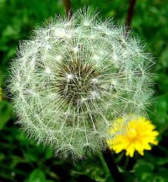 Dandelions: A Bilingual Lesson on Plant Anatomy and Life Cycles