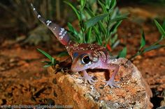Thick-tailed Gecko (Underwoodisaurus milii) | Flickr - Photo Sharing!