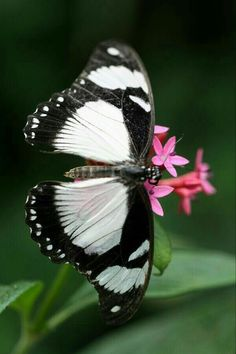 Black and white butterfly Butterfly Effect, Butterfly Kisses, White Butterfly, Butterfly Flowers, Butterfly Wings, Beautiful Butterflies, Butterfly Pictures, Butterfly House, Butterfly Crafts
