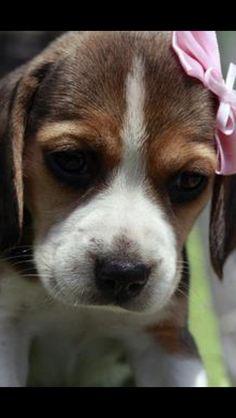 Sweet Baby girl Beagle puppy