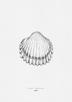A free printable: hand drawn illustration of a seashell (cockle) by inkylines. Download the pdf, print the seashell on an A4 and frame it!
