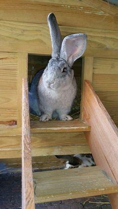 een knapperd All About Rabbits, Bunny Face, Irish Setter, Cute Bunny, Animals Beautiful, Bunnies, Respect, Adoption, Shop