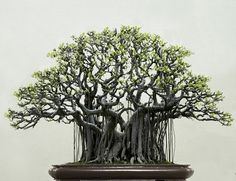 Beautiful Black Bonsai | unknown